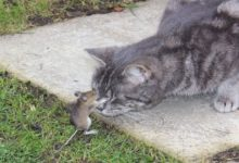 Photo of (VIDEO) Vea a Tom y Jerry de la vida real: Un gato mima a un ratón después de perseguirlo